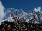 Nepal, Western Region, Dhaulagiri Zone, Lower Mustang, Thini: View on the Nilgiris (6839, 6940 and 7061m) with blossoms