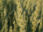 Germany, Baden-Wuerttemberg, Stuttgart-Moehringen: The old interwheat 'Viva', 8 and a half month after sawing, almost ready for harvesting