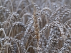 Germany, Baden-Wuerttemberg, Stuttgart: The wheat field with the old winter wheat 'Viva' of the organic-farming Reyerhof 9 month and 2 weeks after sawing